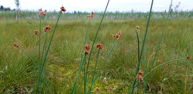 Камыш Табернемонтана (Schoenoplectus tabernaemontani), озеро Батьковское. Фото Н.Любезновой