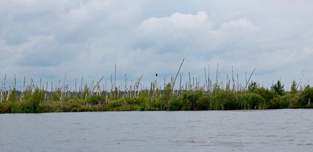 Залитые Ольховские торфоразработки. Орлан-белохвост. Фото О.Гринченко