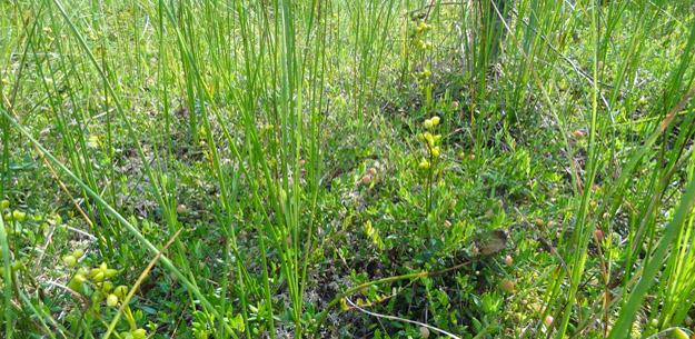 Шейхцерия болотная (Scheuchzeria palustris L.). Фото Ж.Кузьминой