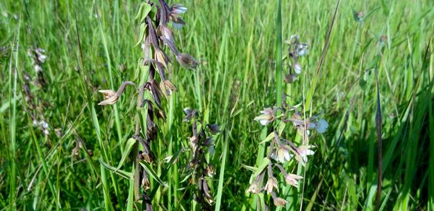 Дремлик болотный (Epipactis palustris (L.) Crantz). Фото Ж.Кузьминой