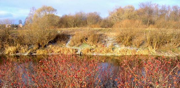 Река Дубна у д. Сущёво. Шиповник. Фото О.Гринченко