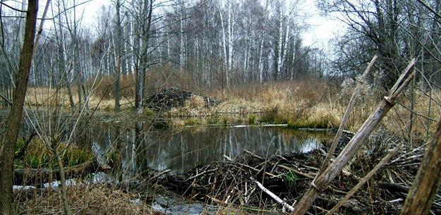 Поселение бобров. Фото М. Иванова