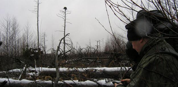 Гнездо скопы на болоте у р. Сухмань, Московская область.