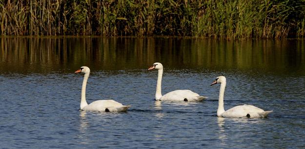 Лебеди-шипуны (Cygnus olor). Измайловские карьеры, Талдомский г.о. Фото В.Ермаковой